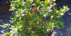 Red Ruffle