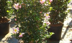 Cotton Candy Camellia