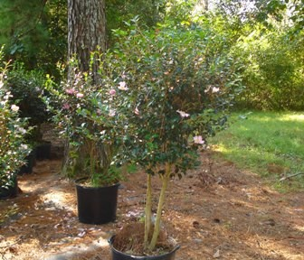 Maiden's Blush Sasanqua (Tree)