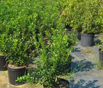 Dwarf Burford Holly