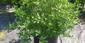 Radican Gardenia