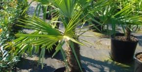 Windmill Palms