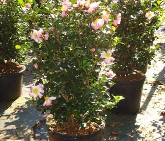 Cotton Candy Camellia